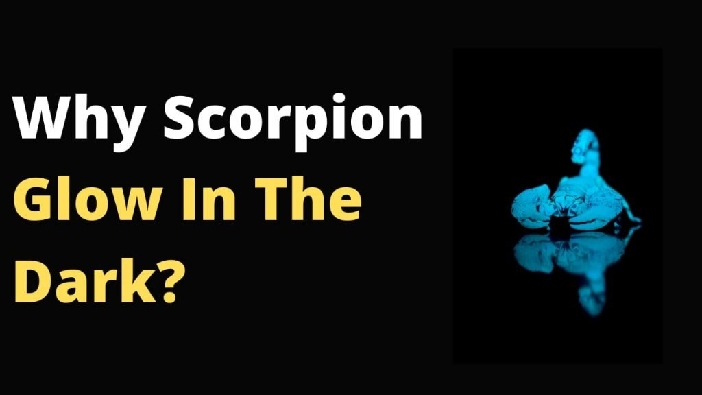 Why Do Scorpions Glow In The Dark? Is it some magic power or chemical reaction