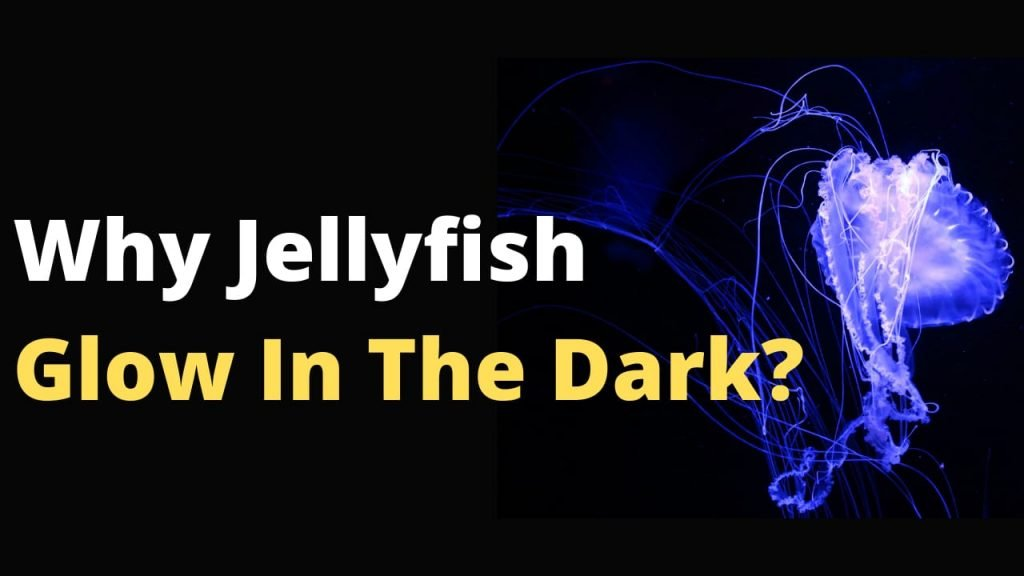 Why Jellyfish Glow In The Dark